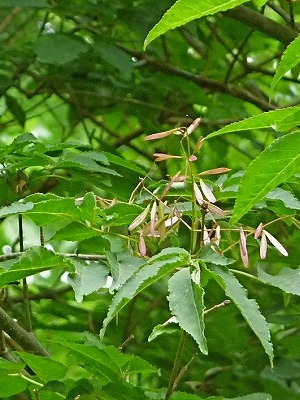 アオダモの画像 p1_23
